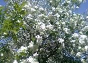 cvet tresnje1